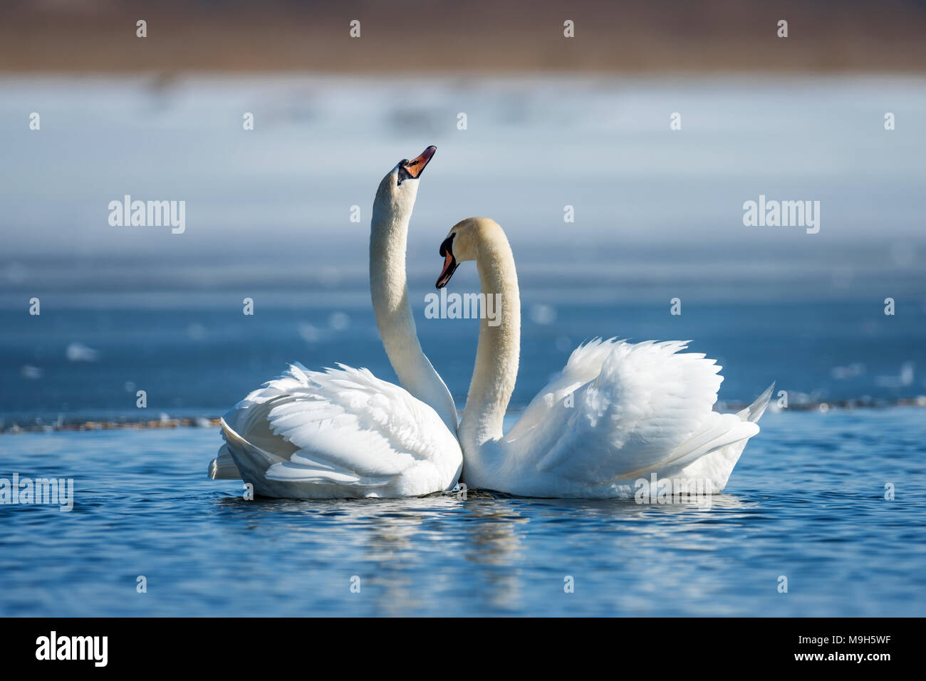 Romantic couple of swans on the lake. Swan reflection in water - Stock Image