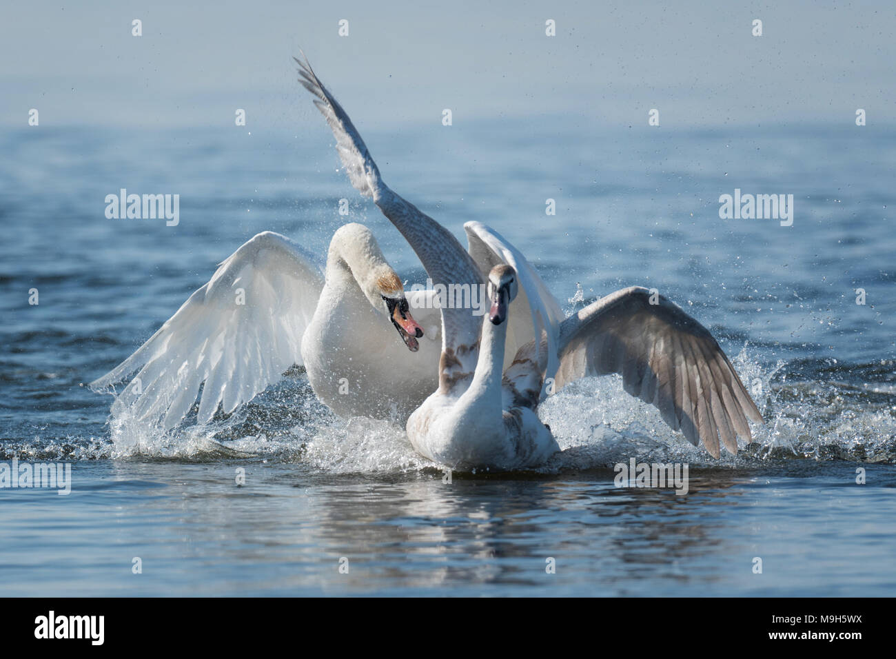 Two male swans, Cygnus olor, during a fight for supremacy in mating season on the River Stock Photo