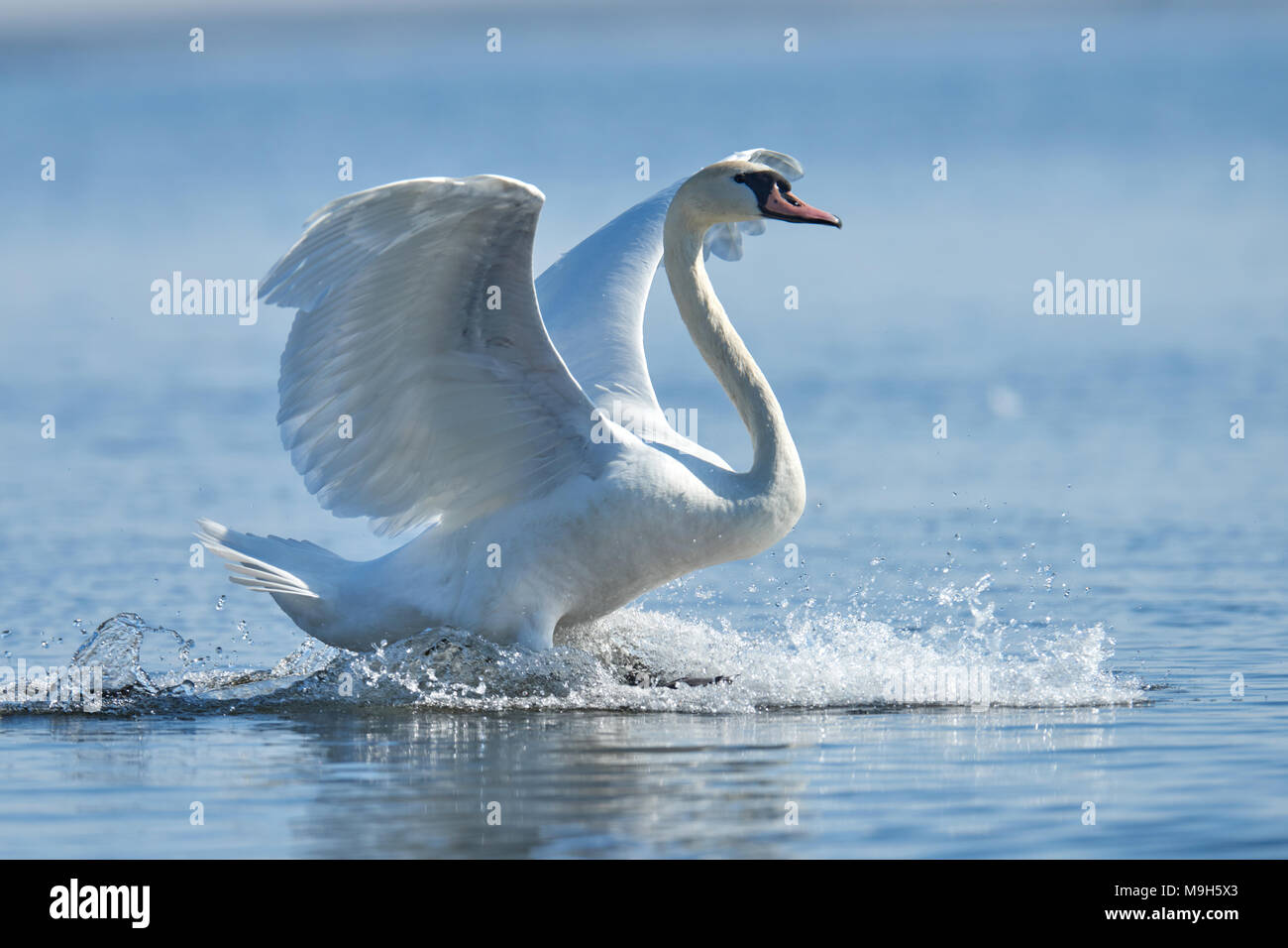 Swan rising from water and splashing water drops around - Stock Image