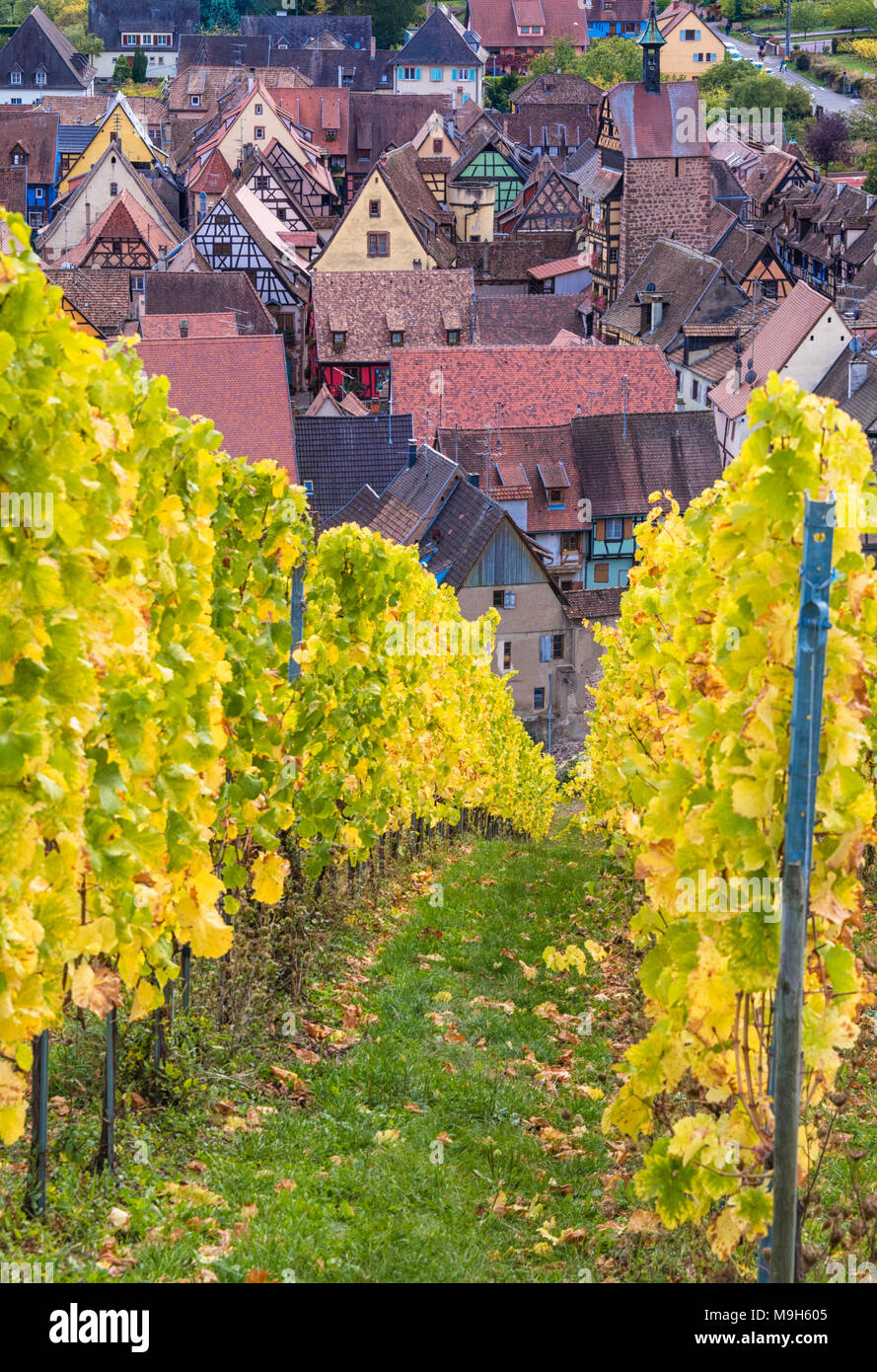 View through the vineyards towards medieval town of Riquewihr, Alsatian Wine Route, France - Stock Image