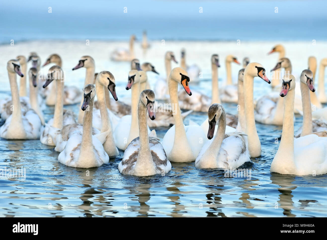 Group of white swans swimming in blue water. Cygnus olor - Stock Image