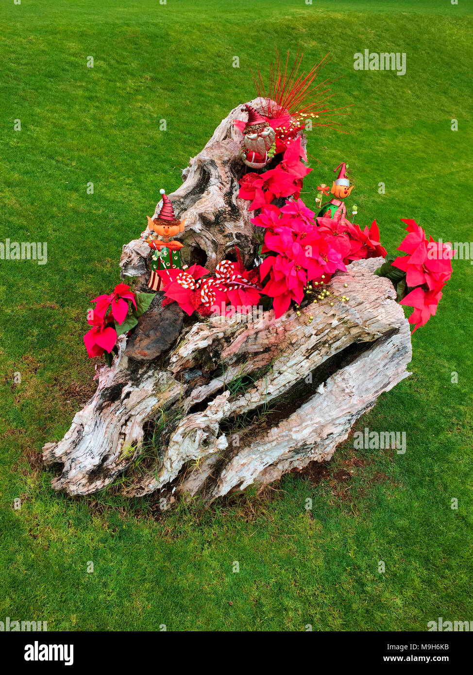 An Old Tree Stump Is The Base For Poinsettia Plants And Other