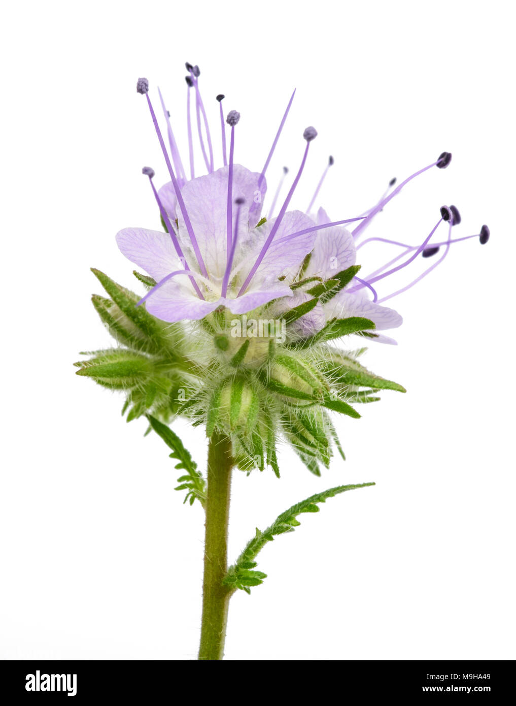 lacy phacelia, blue tansy or purple tansy isolated on white background Stock Photo