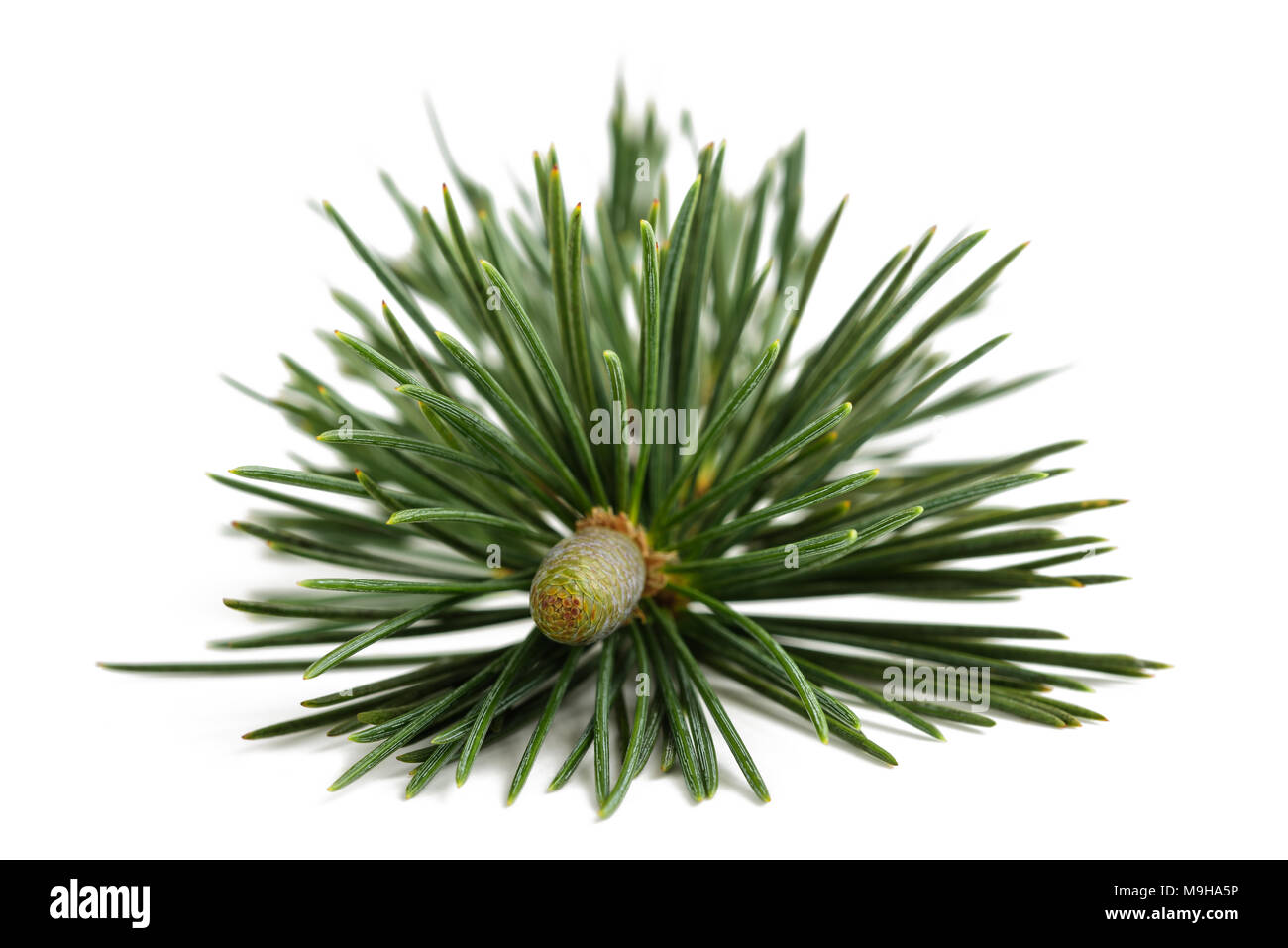 Pine branch with bud isolated on white - Stock Image