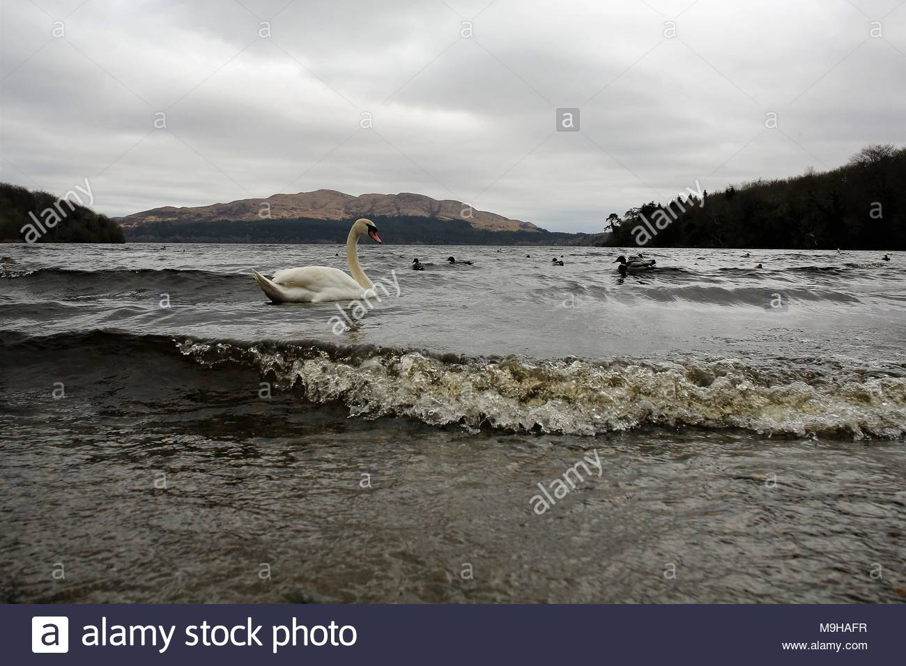 A white swan swims Lough Gill  near Yeats's beloved Hazelwood as winds rise and another spell of bad winter weather returns - Stock Image