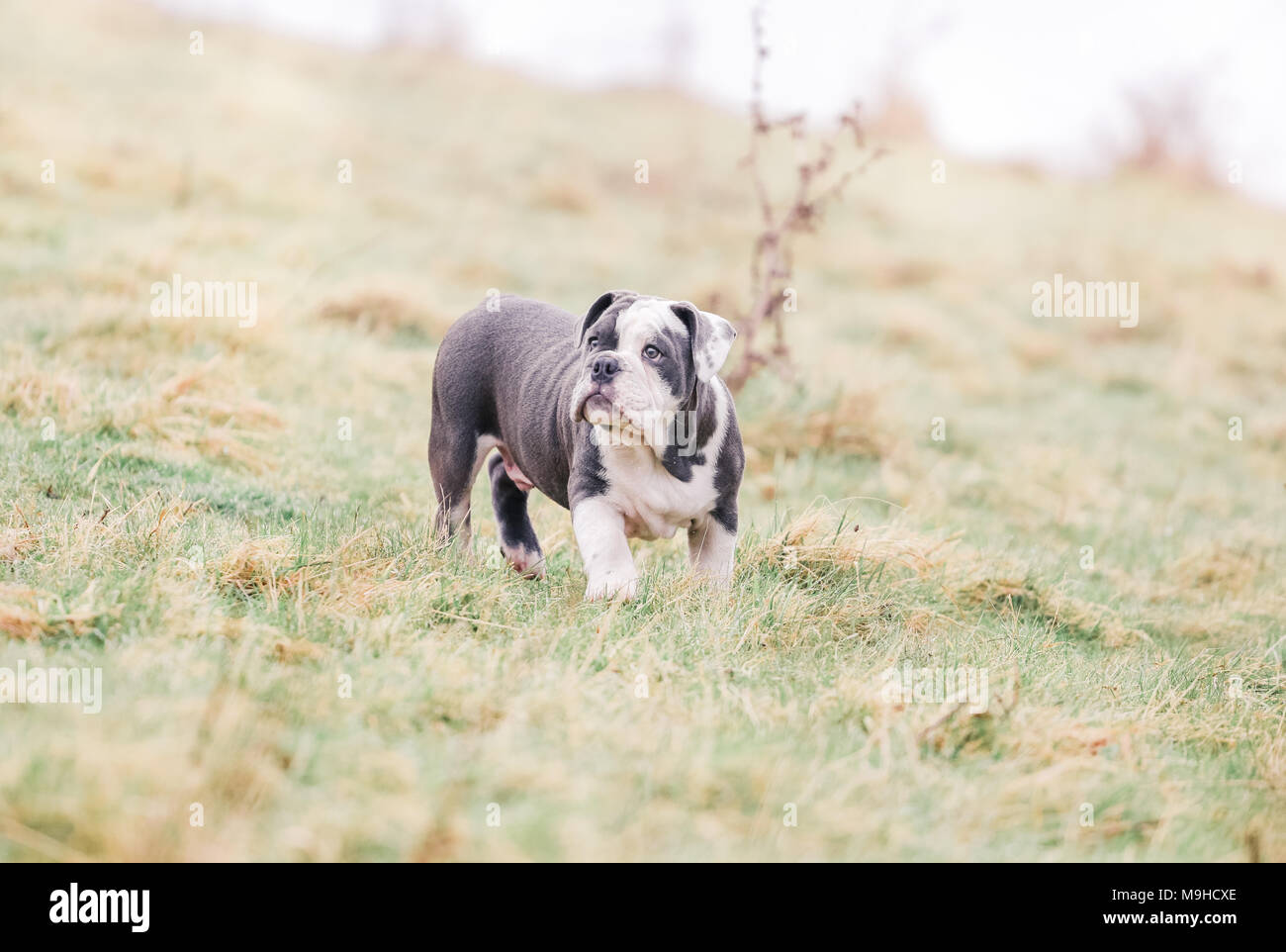 Blue English / British Bulldog puppy out for a walk in the countryside, UK Stock Photo