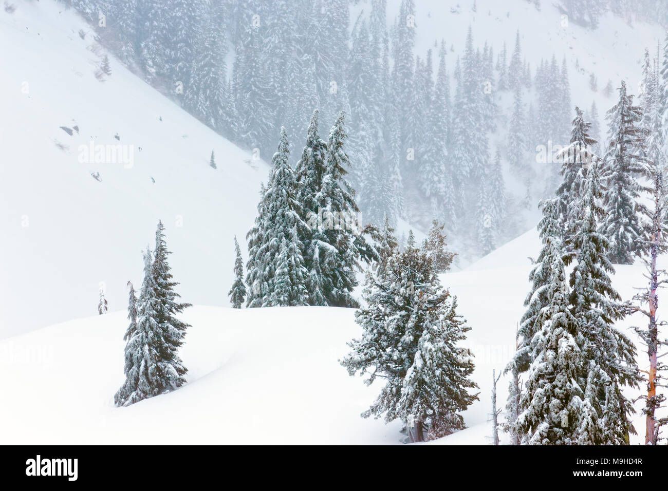 43,160.09819 Winter landscape conifer pine trees forest close-up snowy rolling Mt hills, in a snowstorm, snowing - Stock Image