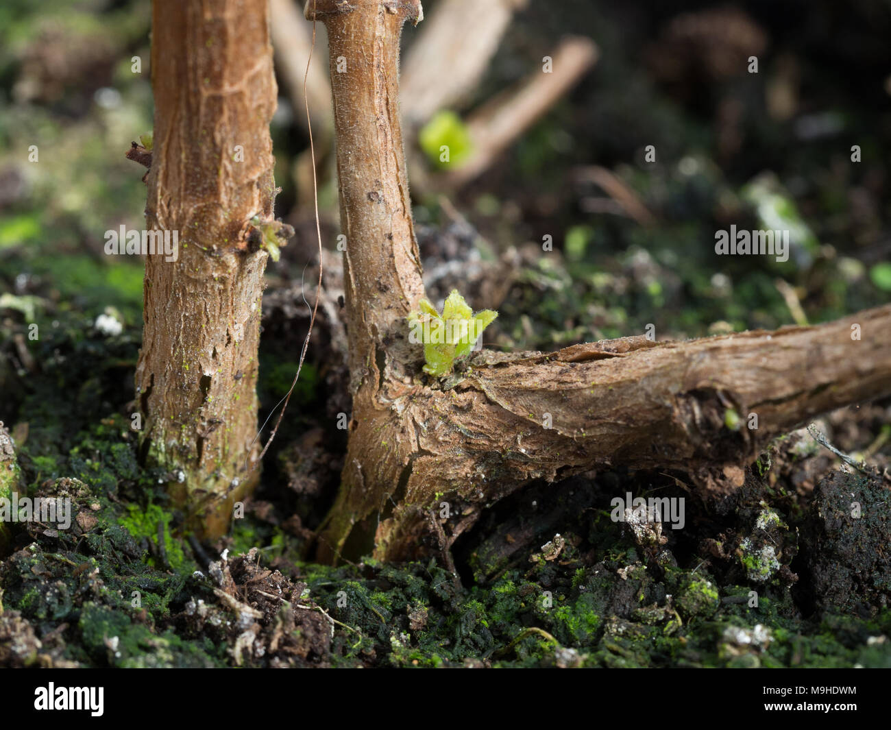 Close up of a new shoot bursting from the old growth of a fuchsia stem - Stock Image