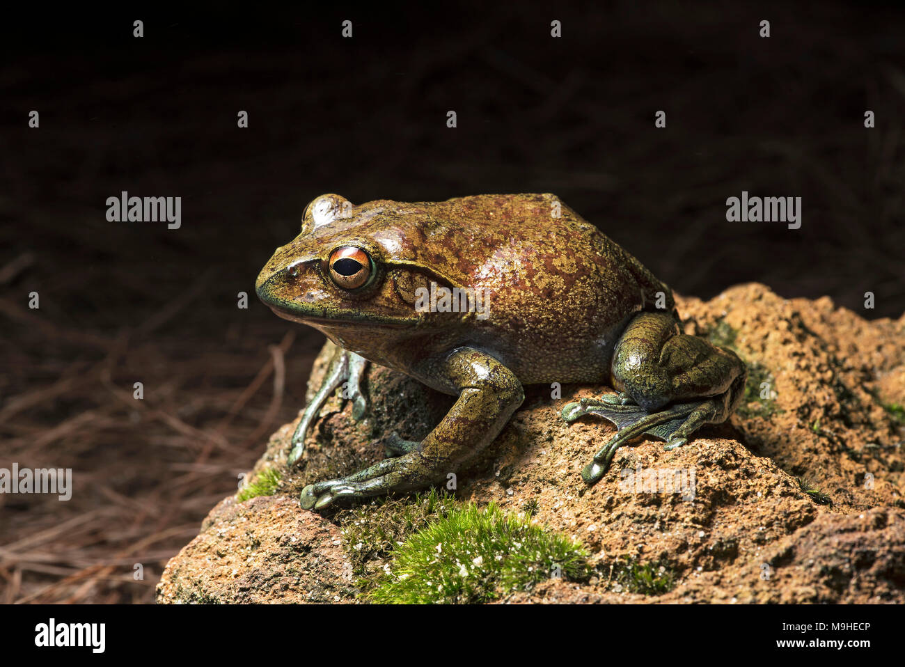 Endemic frog species Boophis goudoti, Mantellidae family, Anjozorobe National Park, Madagascar - Stock Image