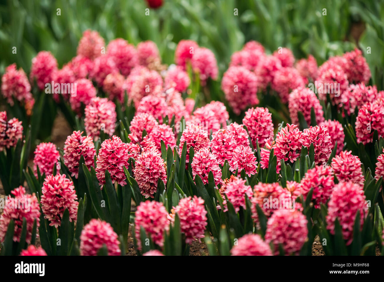 Blooming Pink Flowers Of Hyacinth In Spring Garden Stock Photo