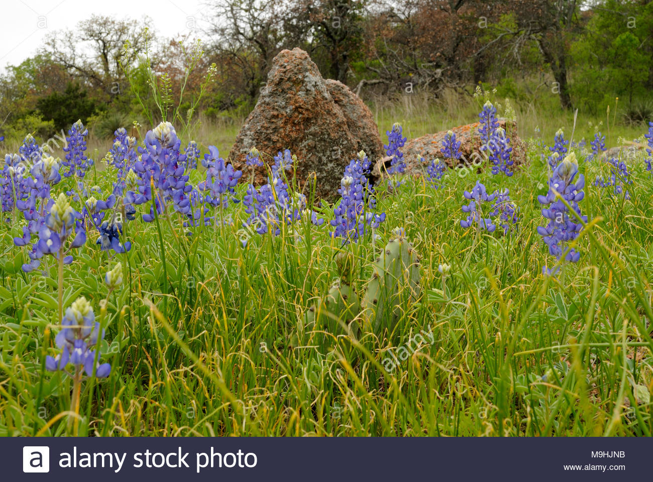 Texas Bluebonnets and Pink Granite Boulder. Taken on a trail at Enchanted Rock State Park in the Texas Hill Country west of Austin Texas near Llano - Stock Image