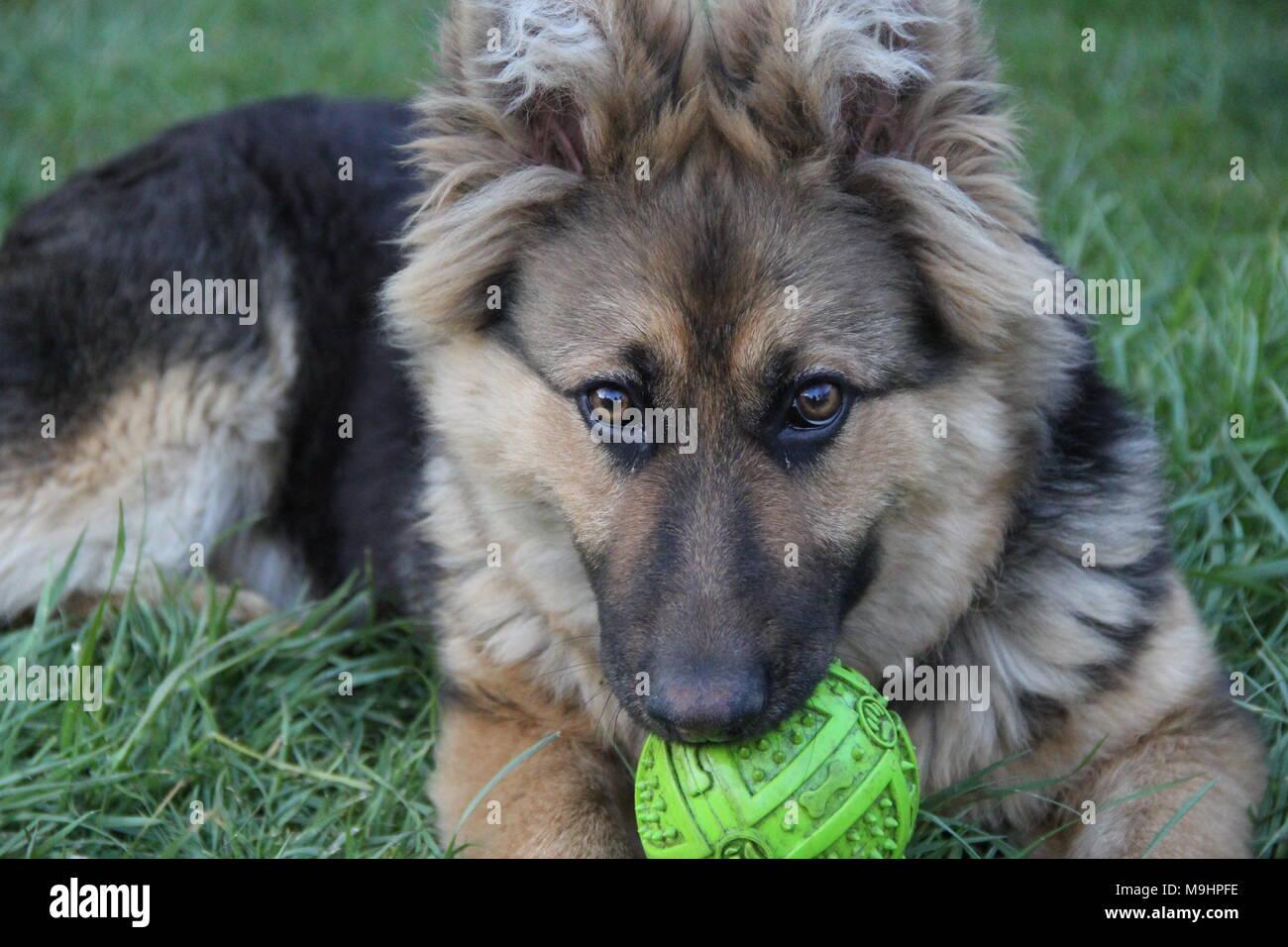 german shepherd. photo - Stock Image