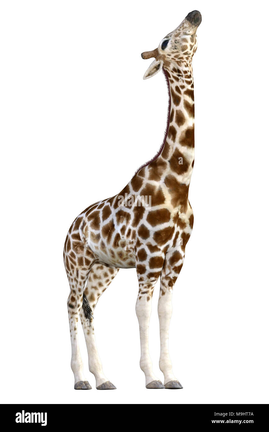 Beautiful Giraffe isolated on white, 3d render - Stock Image