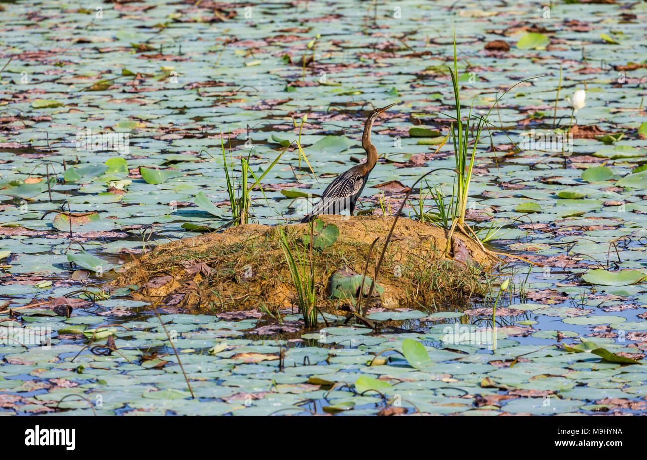 Oriental darter, Anhinga melanogaster, standing in a water lily pond in southern Sri Lanka - Stock Image