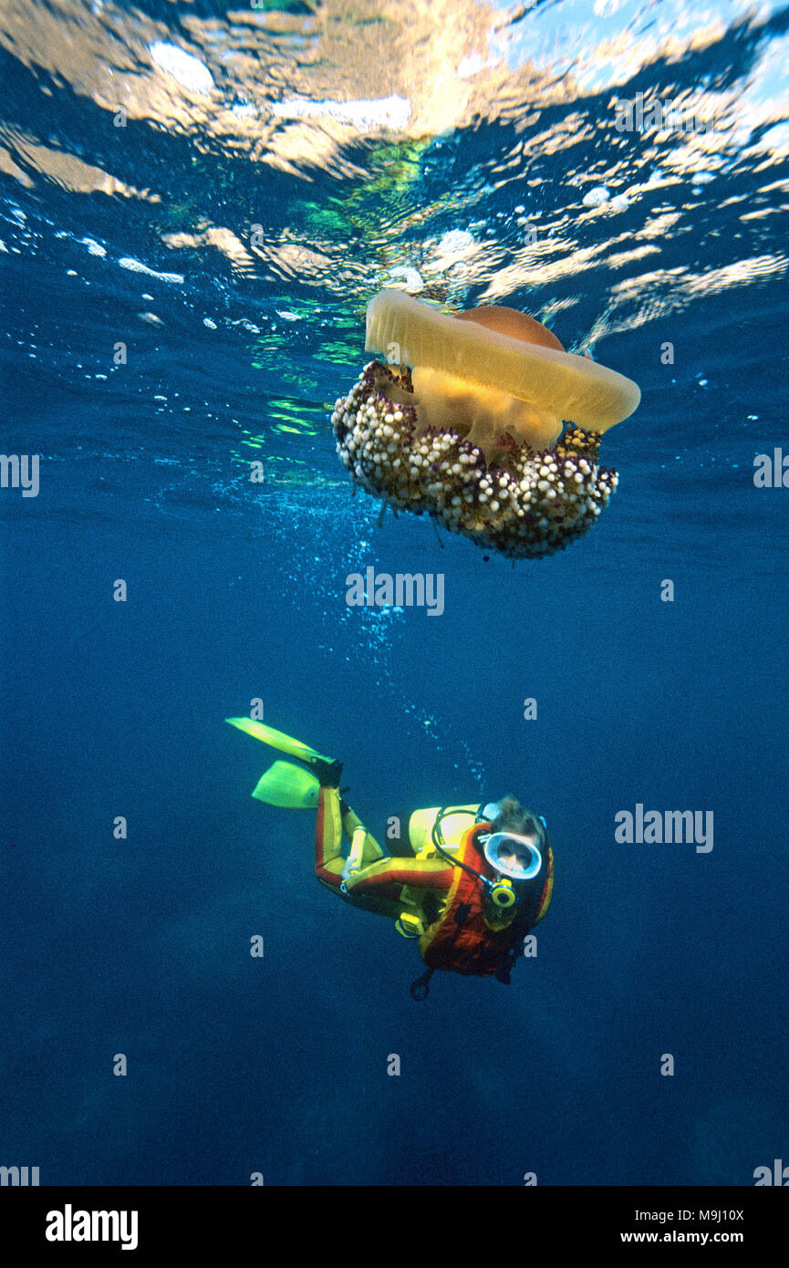 Fried Egg Jellyfish, Egg jellyfish, Mediterranean Jelly, Blubber jelly (Cotylorhiza tuberculata), Corsica, France, Europe, Mediterraenen sea - Stock Image