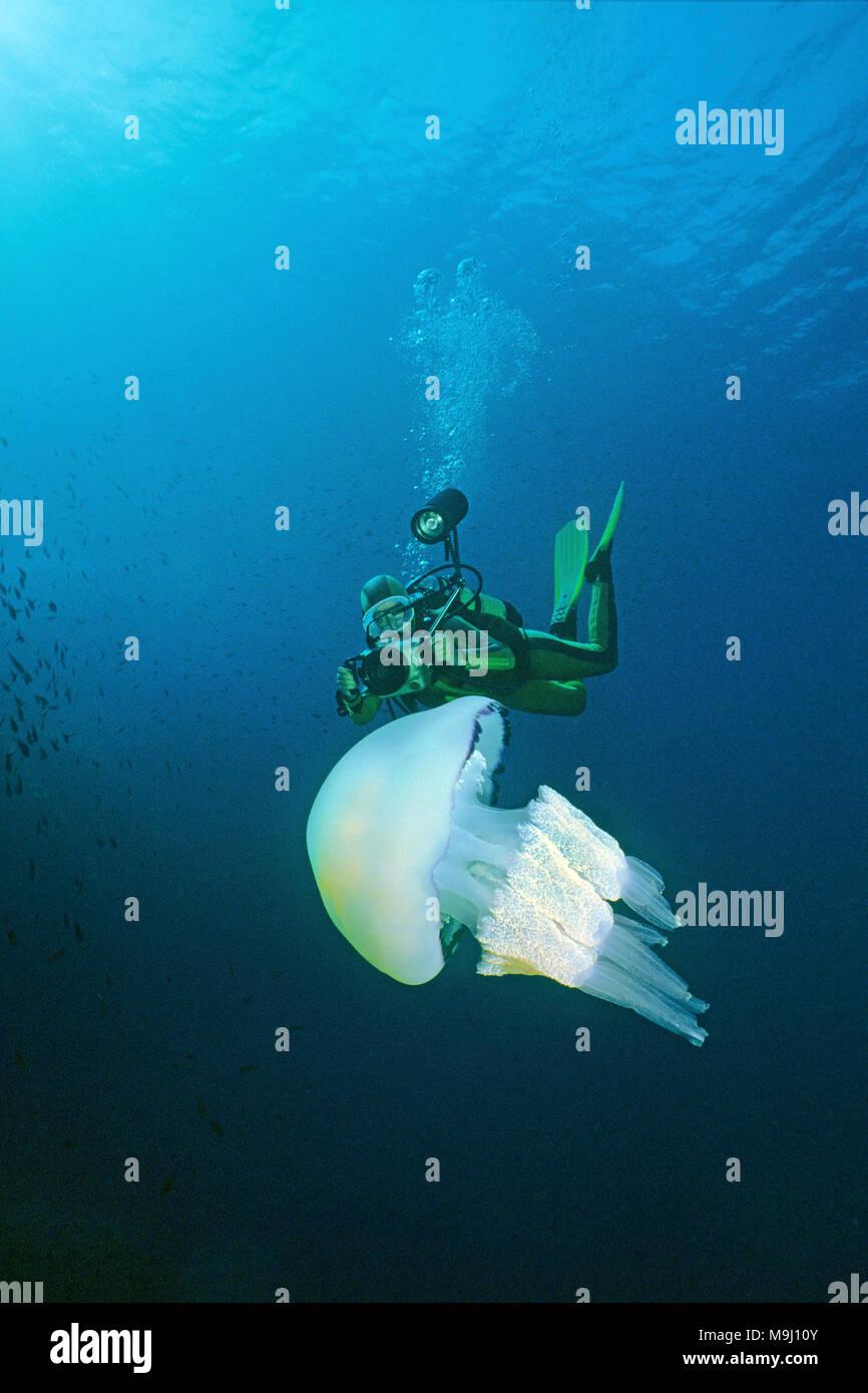 Barrel jellyfish, Frilly-mouthed jellyfish (Rhizostoma pulmo). Benidorm, Costa Blanca, Spain, Europe, Mediterranean sea - Stock Image