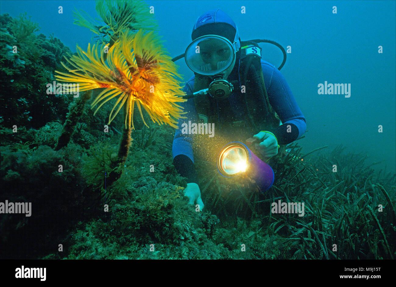 Scuba diver at a Mediterranean fanworm (Sabella spallanzani), Medes Islands, Costa Brava, Spain, Europe Stock Photo
