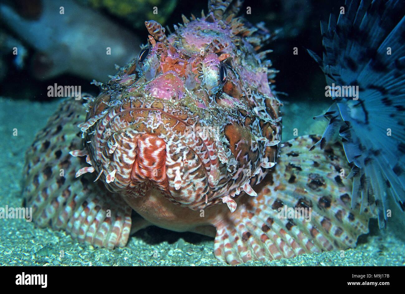 Great rockfish (Scorpaena scrofa), Medes Islands, Costa Brava, Spain, Mediterranean sea, Europe - Stock Image