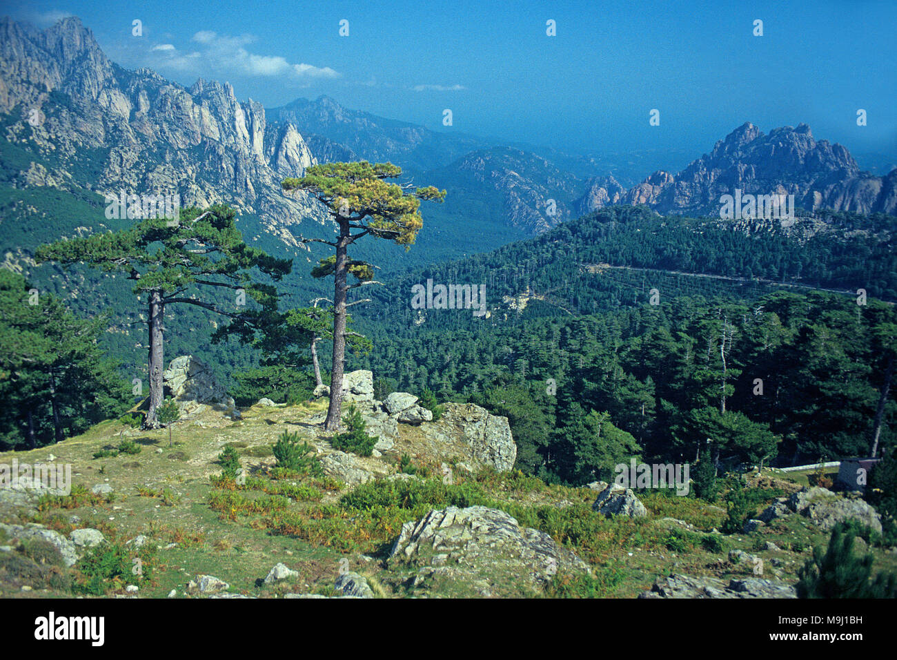 European black pine at Col de Bavella, mountains at middle of Corsica, France, Mediterranean, Europe Stock Photo