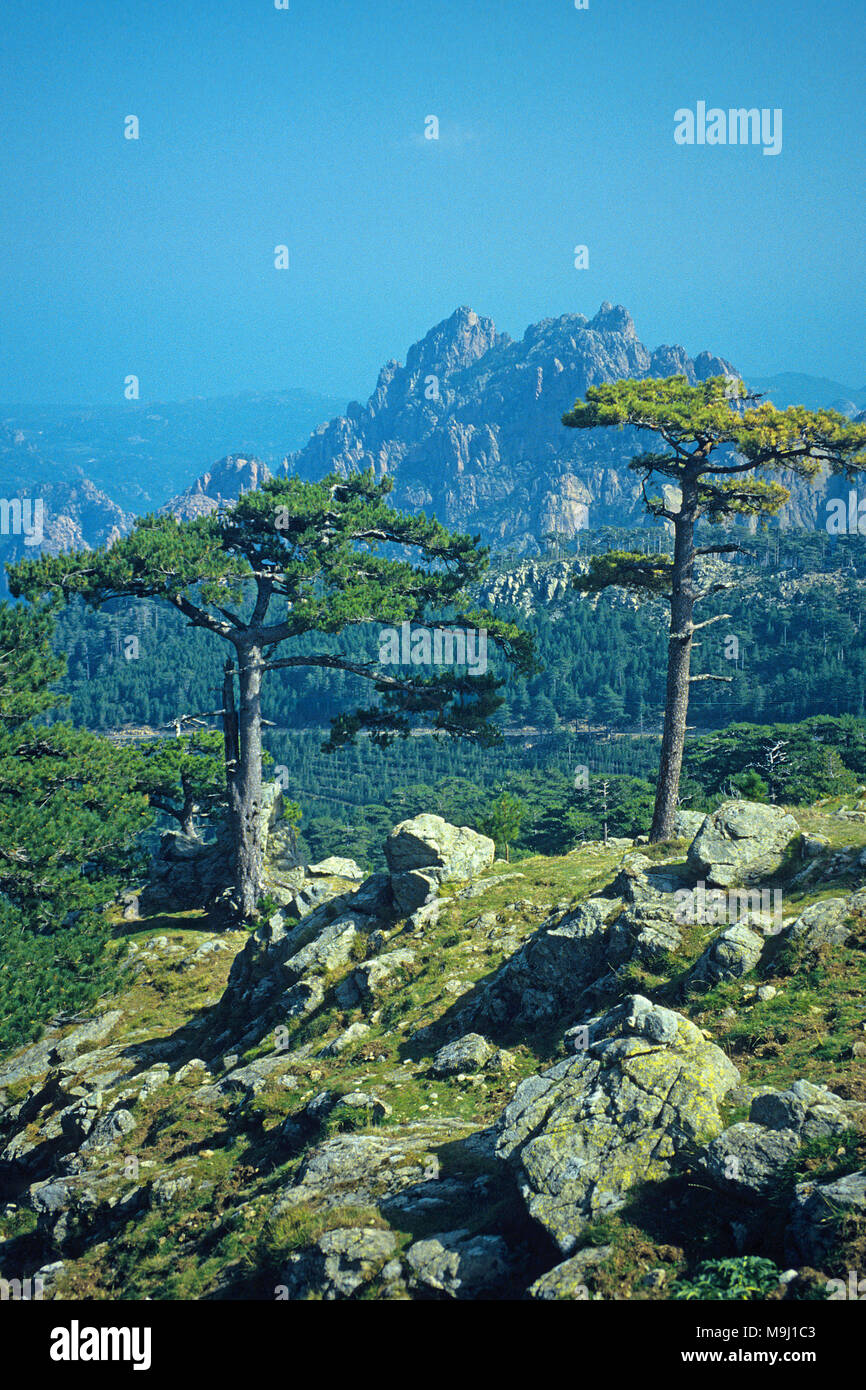 European black pine at Col de Bavella, mountains at middle of Corsica, France, Mediterranean, Europe - Stock Image