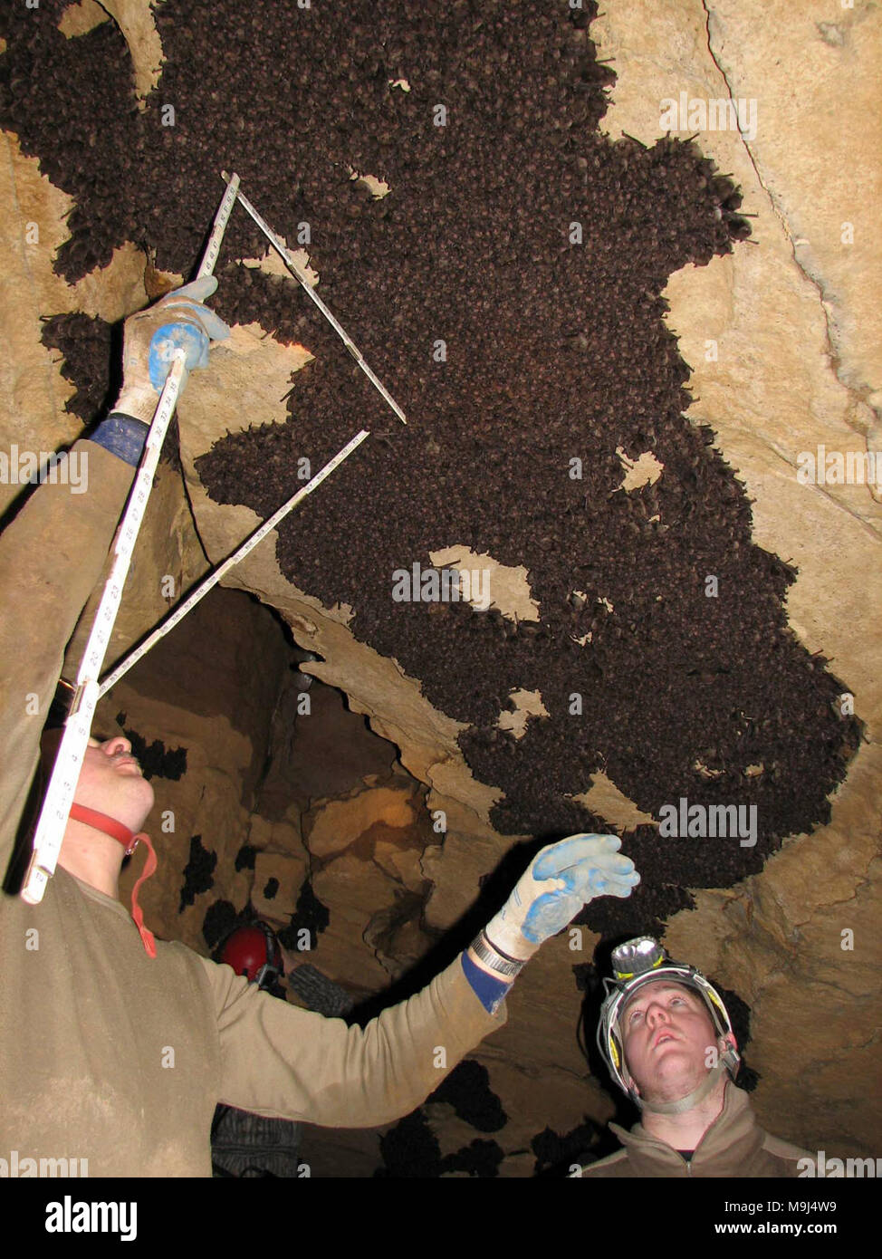 Indiana bat (Myotis sodalis) survey in 2007. Credit: USFWS; Andrew King  By measuring the area of clustered bats, biologists estimate the numbers of hibernating bats. - Stock Image