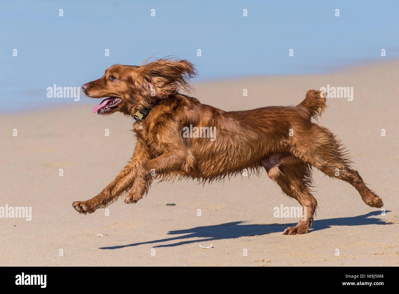 A Cocker Spaniel dog running across a beach in Cornwall. - Stock Image