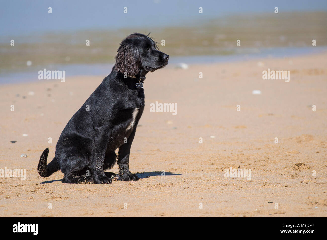 A Labrador Springer Spaniel cross waiting patiently on Fistral beach in Newquay Cornwall. - Stock Image