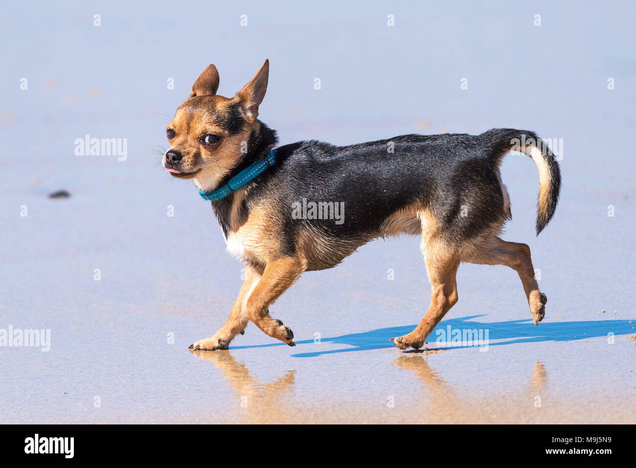 A Smooth Coat Chihuahua on a beach. - Stock Image