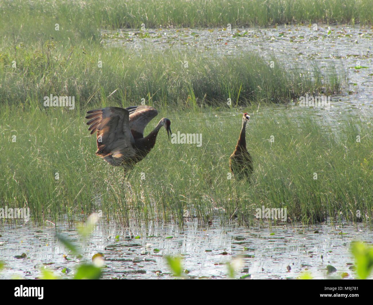 Sandhill Crane National Wildlife Federation >> Dancing Sandhill Cranes At Seney National Wildlife Refuge Photo By