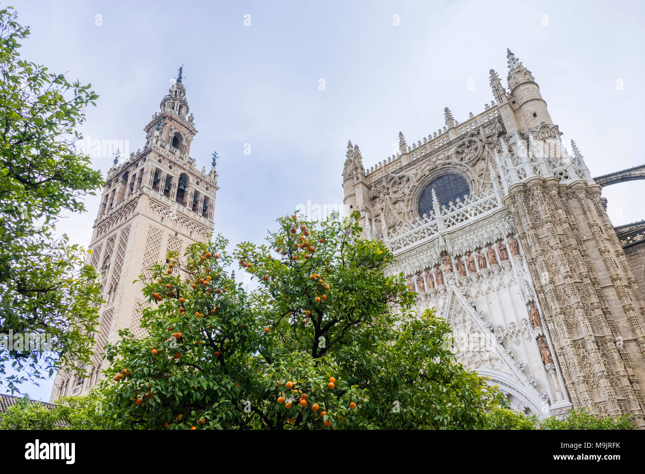 Orange trees in the courtyard of the Seville Cathedral (Catedral de Santa María de la Sede) with the impressive Giralda Bell Tower to the left - Stock Image
