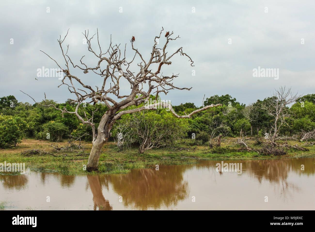Two birds sitting on a dead tree in brown muddy lake. Yala National Park, Sri Lanka - Stock Image