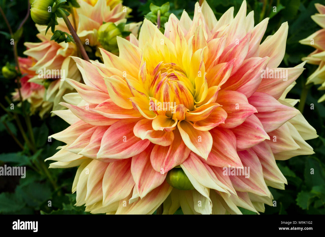 Beautiful large dahlia with yellow and pink tones.  It is a dinnerplate sized variety called 'Advance' dahlia. - Stock Image