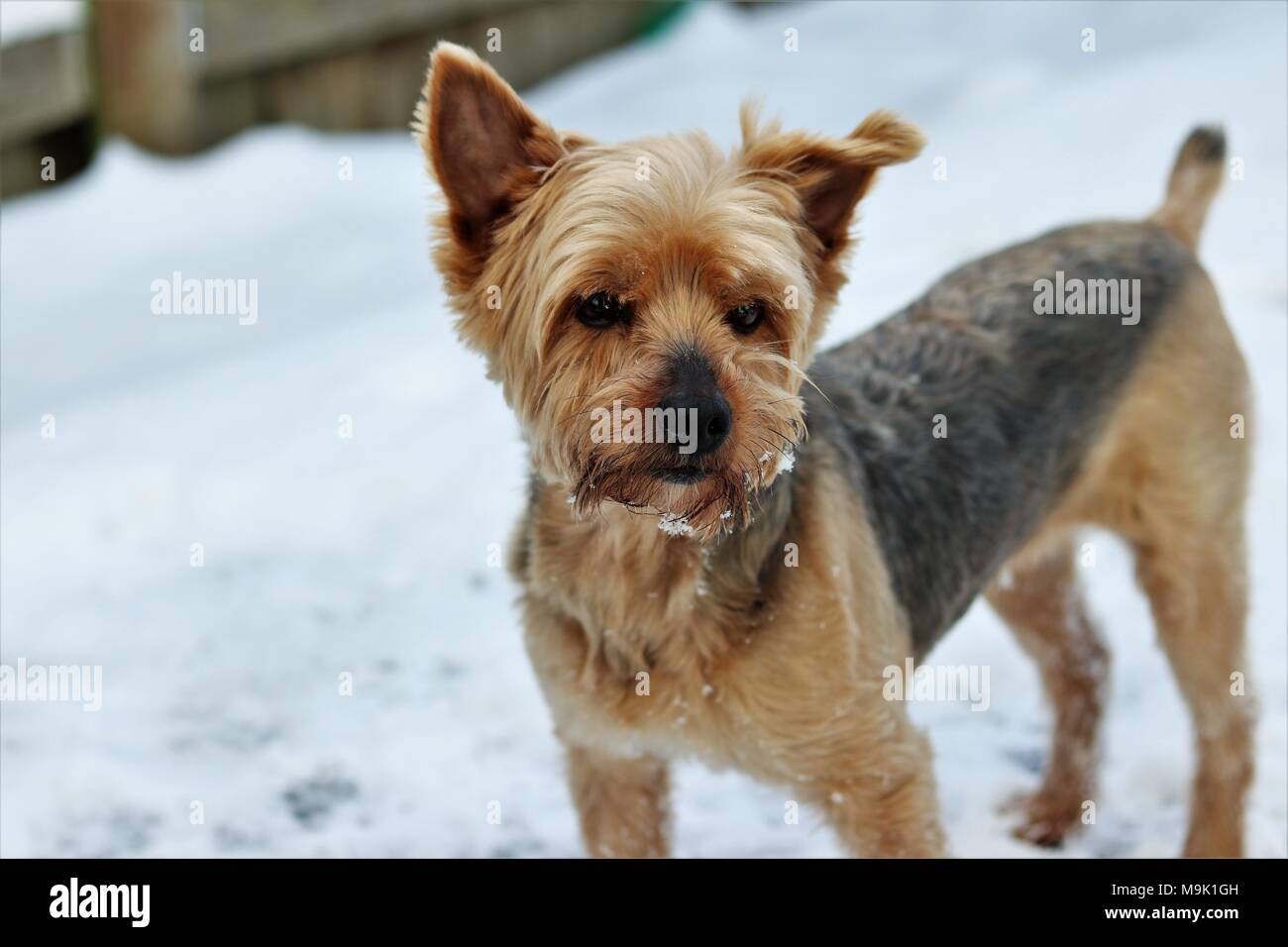 Yorkie Terrier in snow - Stock Image