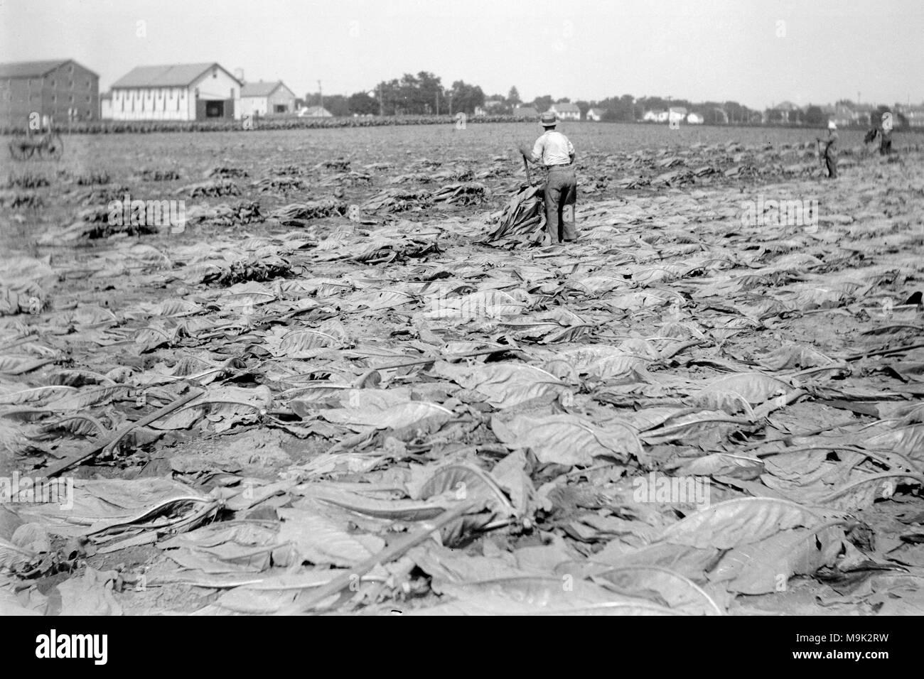 Tobacco harvesting in North Carolina, ca. 1920. - Stock Image
