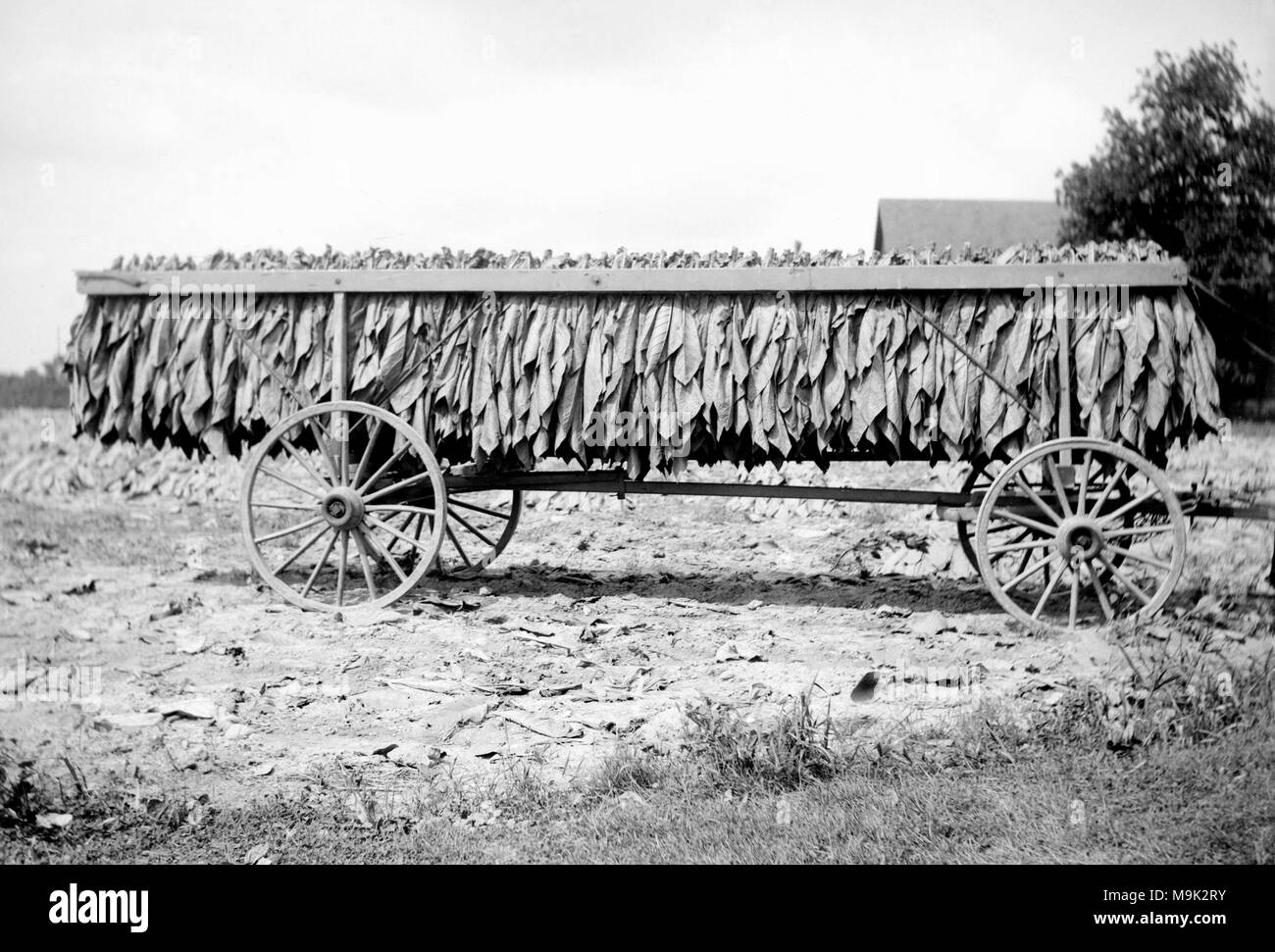 A crop of newly picked tobacco hangs on a horse-pulled wagon on a North Carolina farm, ca. 1925. - Stock Image