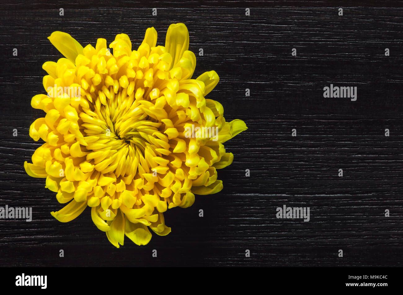 Yellow Chrysanthemum on Dark Table with Space for Copy - Stock Image