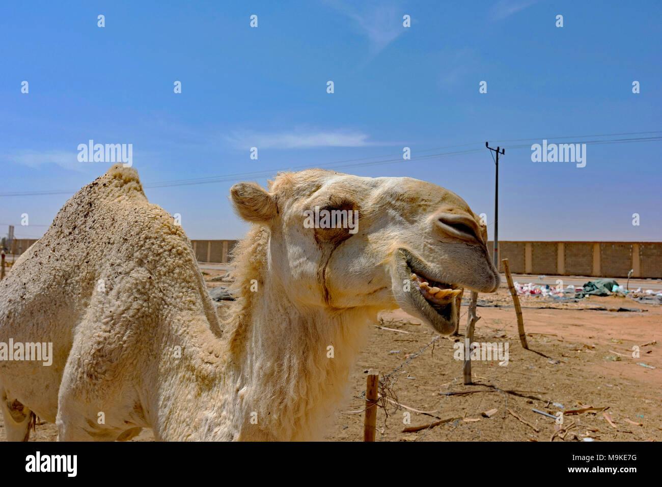 Close-ups of camels for sale near Riyadh, Saudi Arabia. - Stock Image