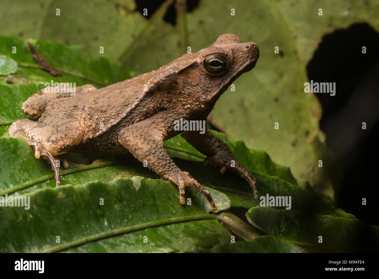 A South American common toad (Rhinella margaritifera), these toads represent a species complex of undiscovered species that still need describing. - Stock Image