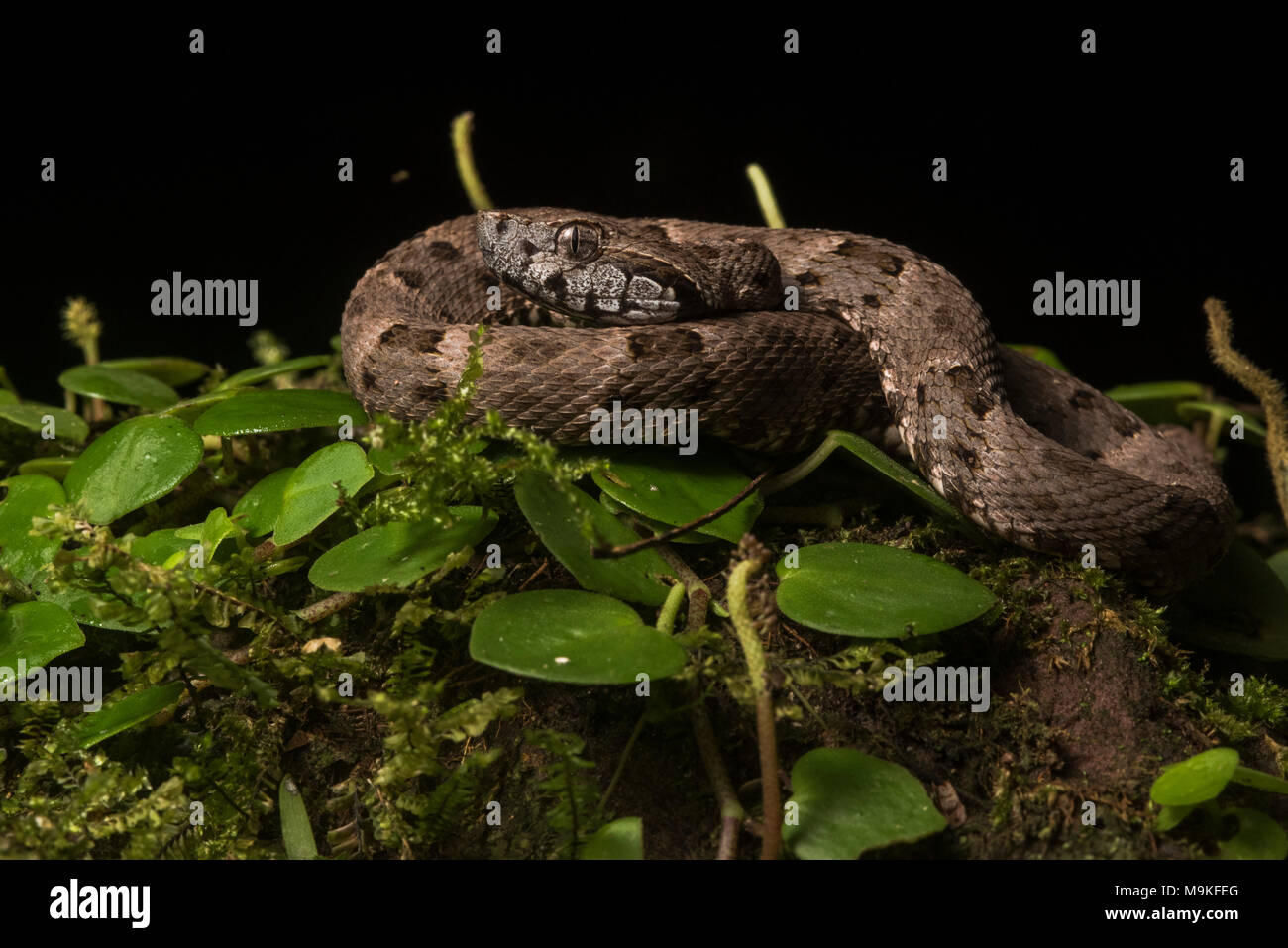 The fer de lance (Bothrops atrox) is South Americas most dangerous snake.  It is common and packs potent venom, two traits which make it a concern. - Stock Image
