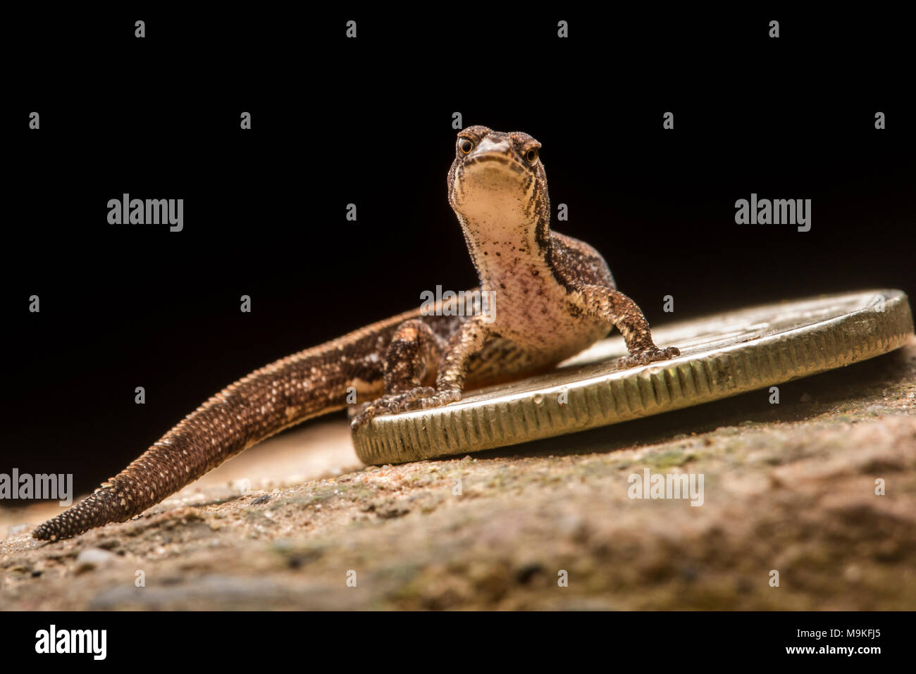 This tiny gecko species (Psuedogonatodes sp.) is among the smallest reptile species and is dwarfed by a small coin. Stock Photo