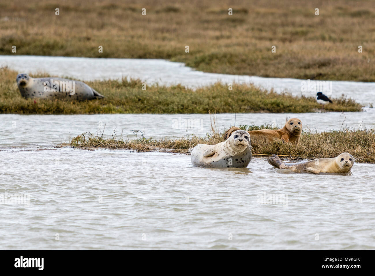 England, Sandwich. Seals basking on marshes at River Stour estuary. Overcast weather. - Stock Image
