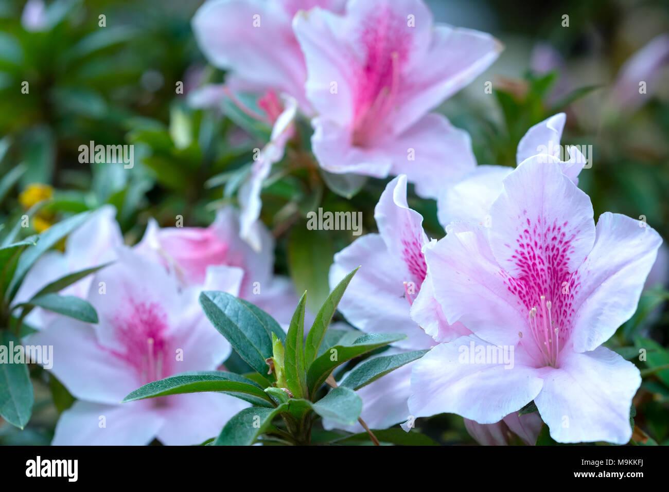 Azalea flowers bloom in the flower garden in the early spring azalea flowers bloom in the flower garden in the early spring beautiful mightylinksfo