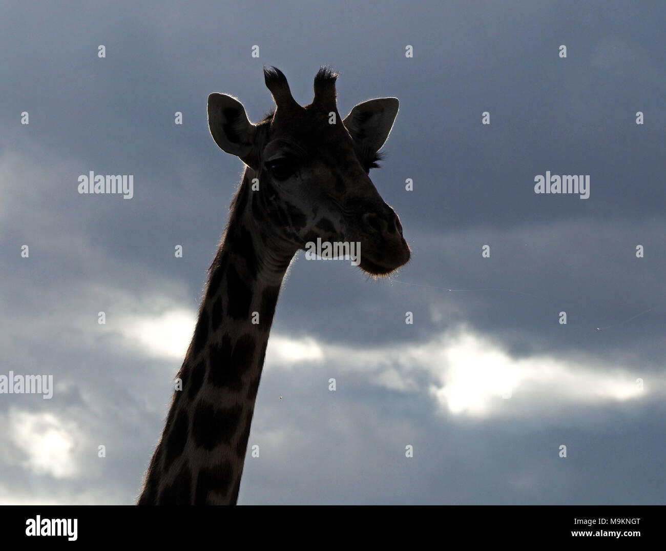 backlit head of Masai Giraffe (Giraffa tippelskirchi) shows thread of saliva glistening in the wind against grey sky above Masai Mara, Kenya, Africa - Stock Image