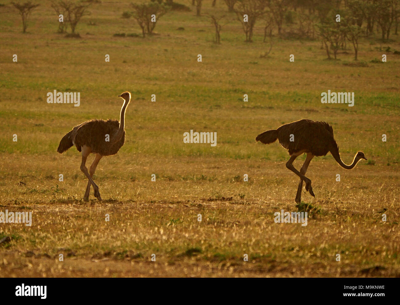 Two female common ostrich (Struthio camelus) backlit as they range across the plains of the Masai Mara, foraging for morsels of food in Kenya, Africa - Stock Image