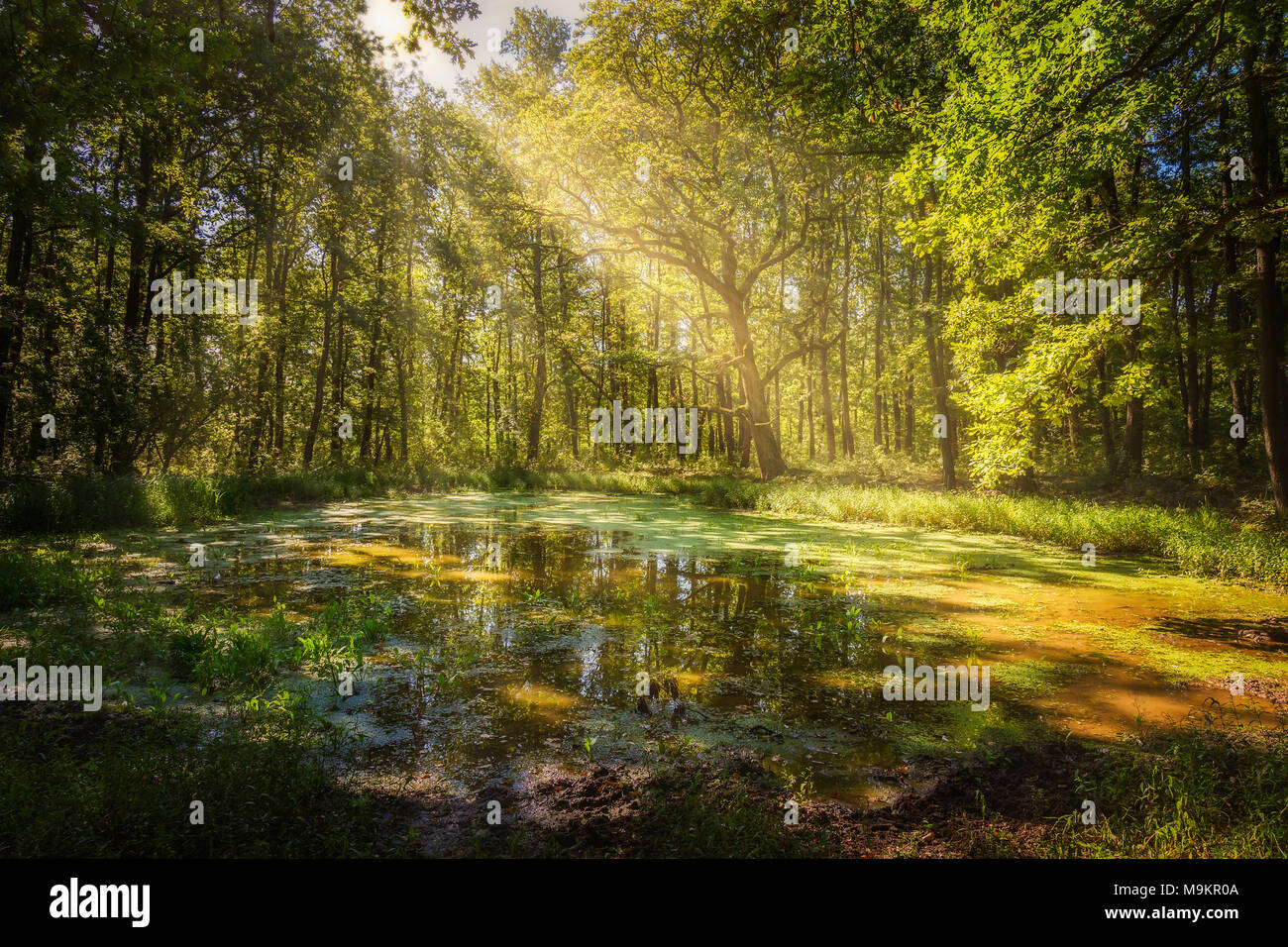 Wallow in the forest in a sunny day Stock Photo