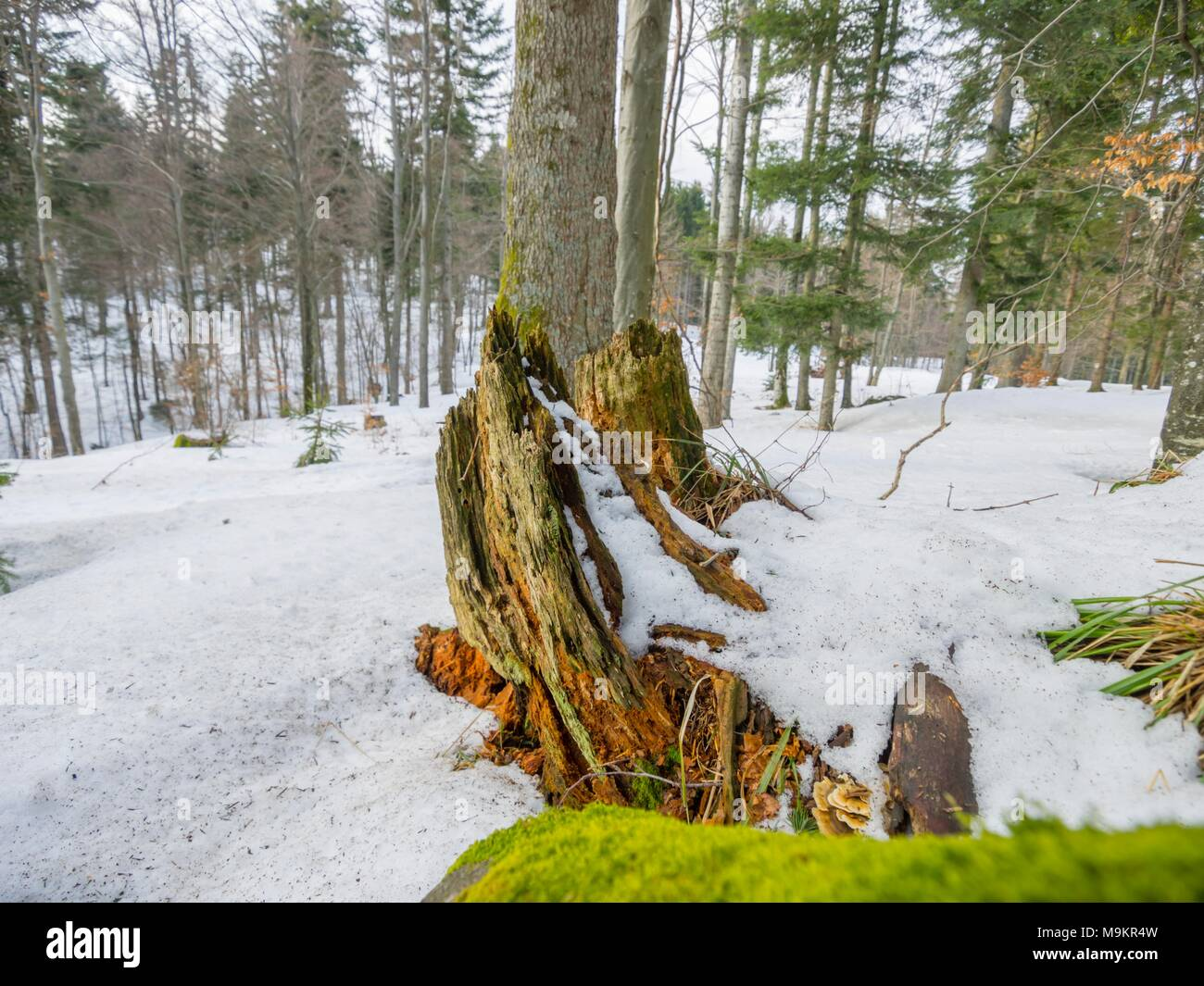 Late Winter trees in forest - Stock Image