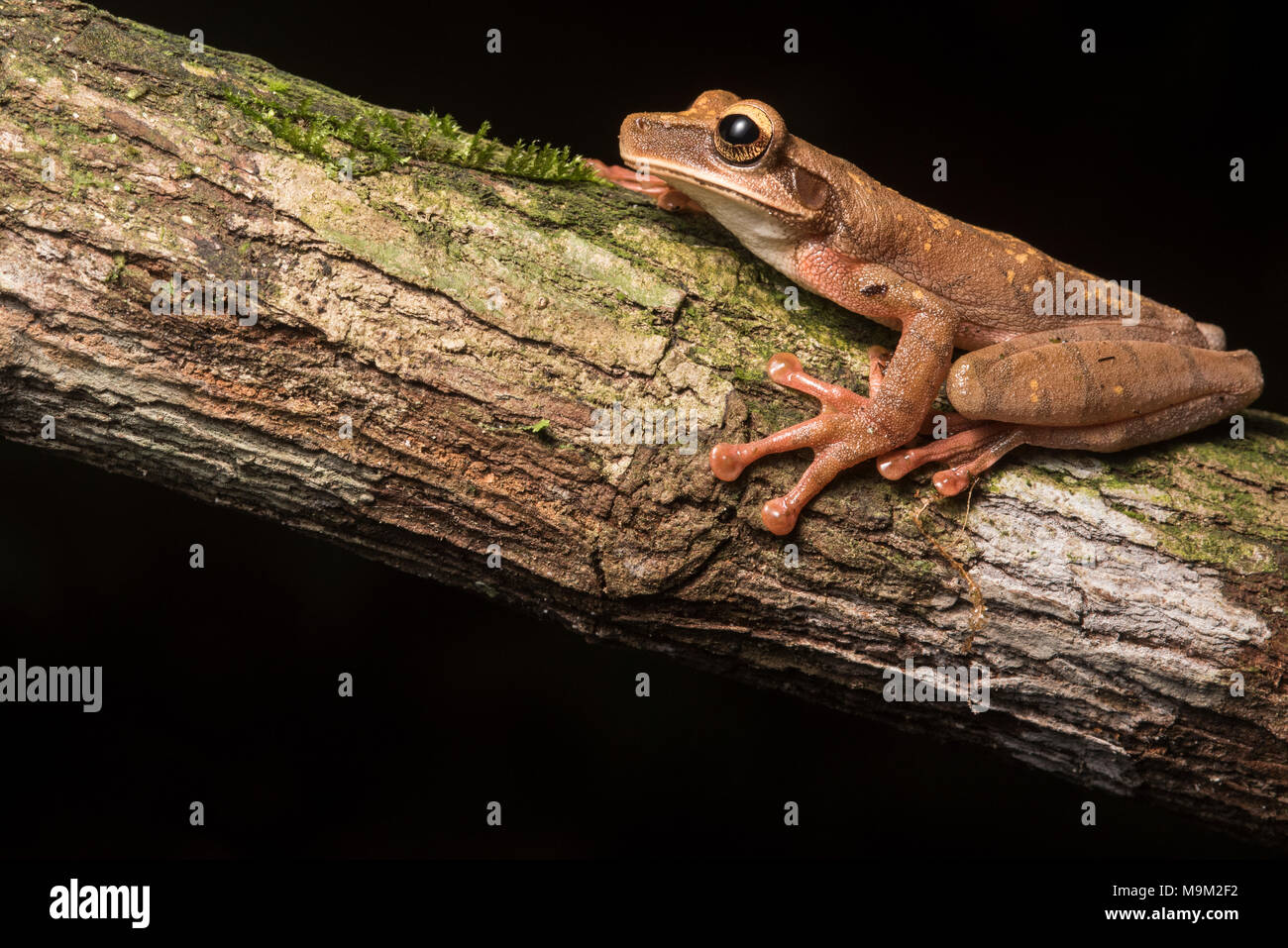 Cayenne slender-legged tree frog (Osteocephalus cf. leprieurii) a gorgeous frog from the high altitude forests of Northern Peru. - Stock Image