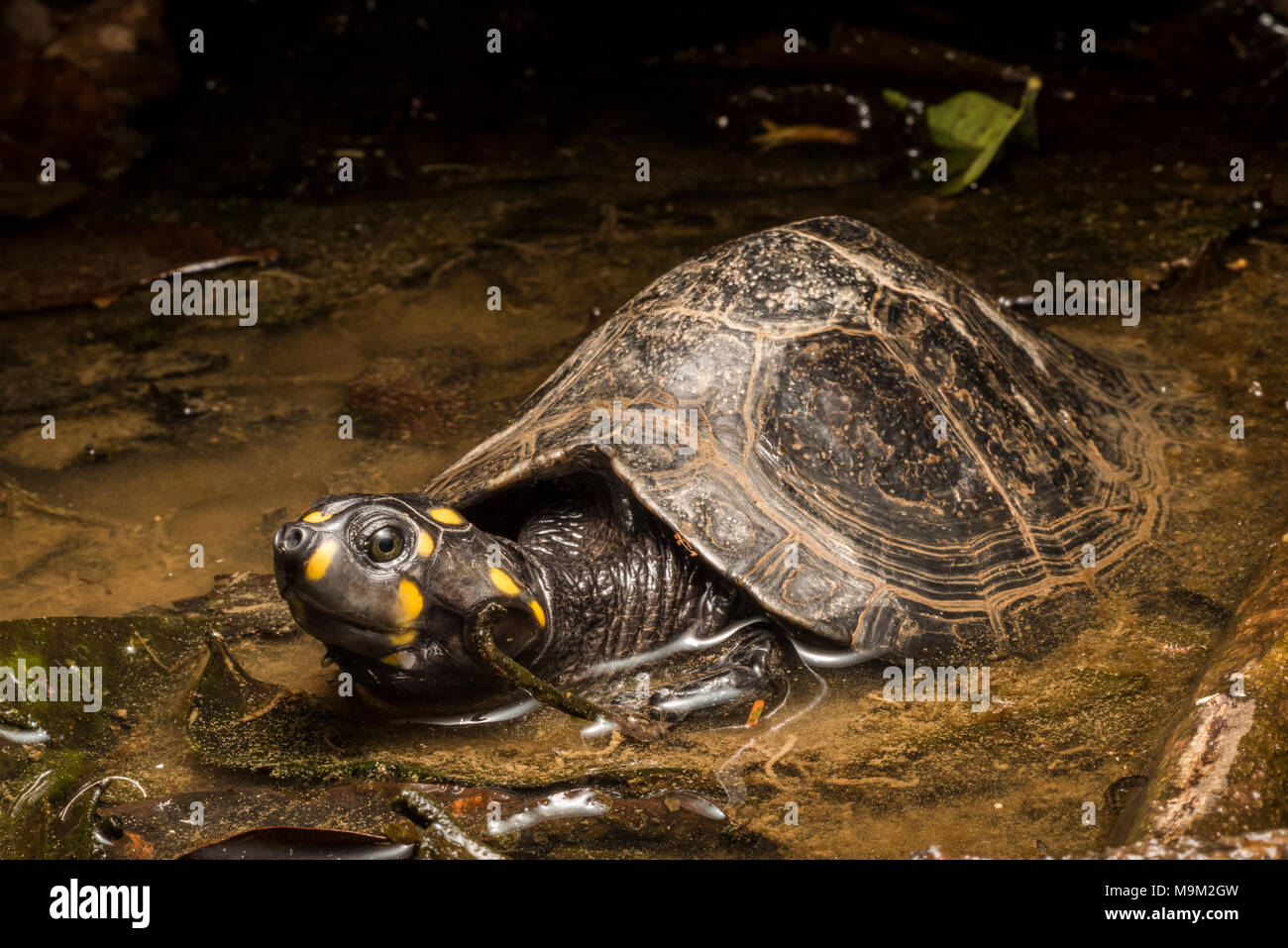 The threatened freshwater turtle, the yellow headed sideneck, from South America. - Stock Image