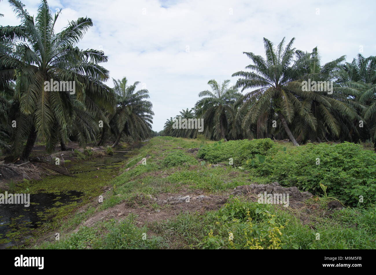 Oil Palm Industries for food and earning - Stock Image