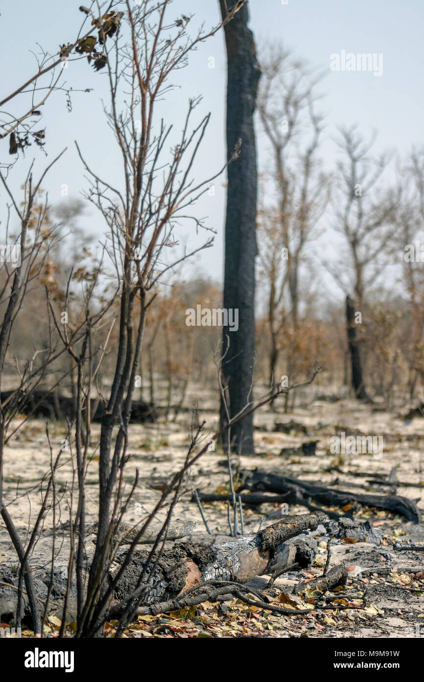 Charred damaged remains of a bushfire in the Tsumkwe region of Namibia; home to the San people. - Stock Image